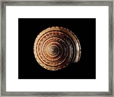 Sundial Sea Snail Shell Framed Print by Gilles Mermet
