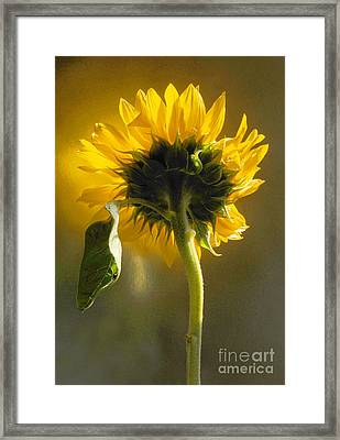 Sunflower 1 Framed Print