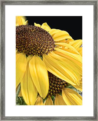 Sunflower 1 Framed Print