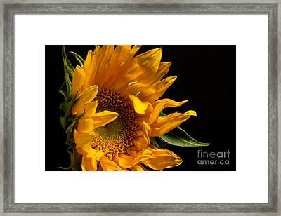 Sunflower 2010 Framed Print by Art Barker