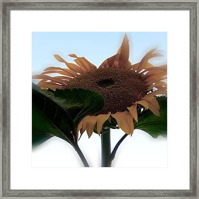 Sunflower 4 Framed Print