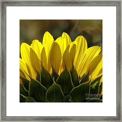 Sunflower Abstract By Nature Square Framed Print by Lee Craig