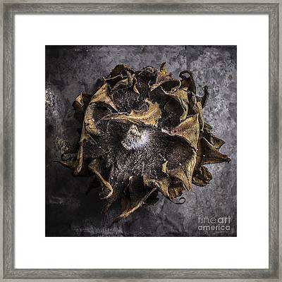 Sunflower Abstract Square Framed Print by Edward Fielding