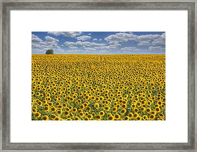 Sunflower Afternoon - Texas Wildflower Images - Happiness Framed Print