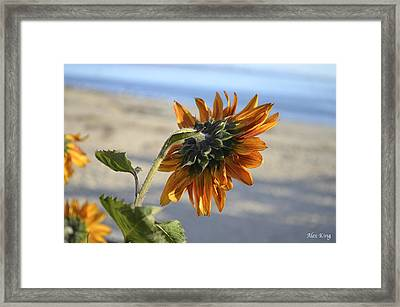 Sunflower Framed Print by Alex King