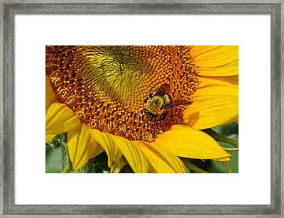 Sunflower And Bee Macro Framed Print