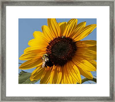 Sunflower And Bee Framed Print by Victoria Sheldon