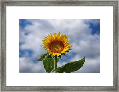 Sunflower And Cloudy Sky Framed Print
