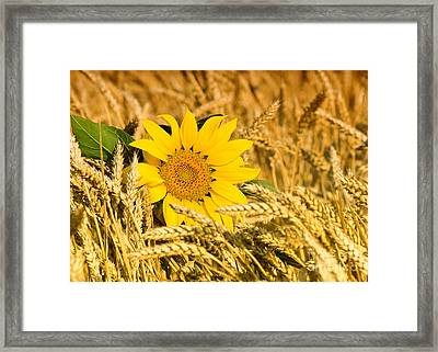 Sunflower And Wheat Framed Print by Boon Mee