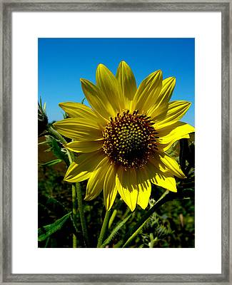 Sunflower Framed Print by Andrea Galiffi