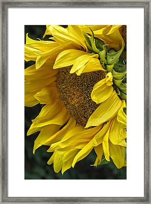Sunflower  Framed Print by Ann Bridges
