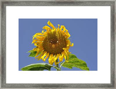 Sunflower At Latrun Framed Print