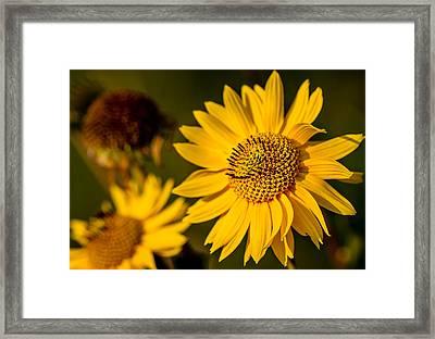 Sunflower At Sunset Framed Print by Eric Bott