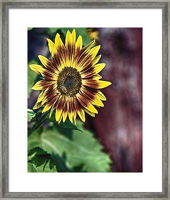 Sunflower At The Barn Framed Print