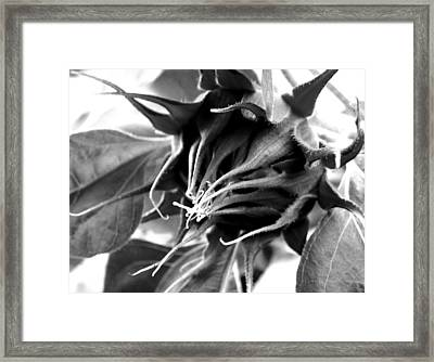 Framed Print featuring the photograph Sunflower Beginning by Sandi OReilly