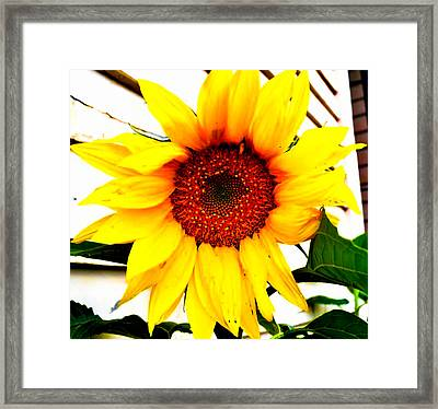 Sunflower Blossom  Framed Print