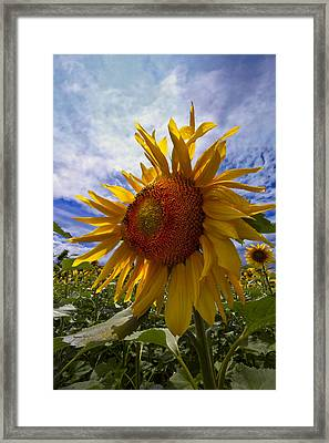 Sunflower Blue Framed Print