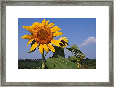 Sunflower Blues Framed Print by Frozen in Time Fine Art Photography