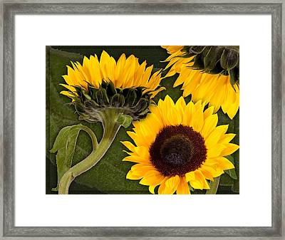 Framed Print featuring the photograph Sunflower  by Bob Coates