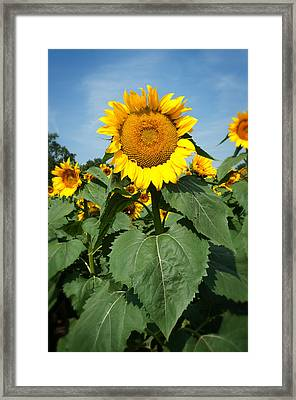 Framed Print featuring the photograph Sunflower by Bud Simpson