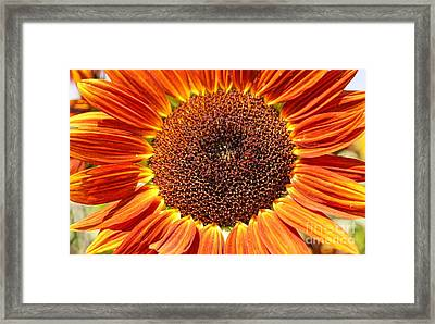 Sunflower Burst Framed Print by Kerri Mortenson