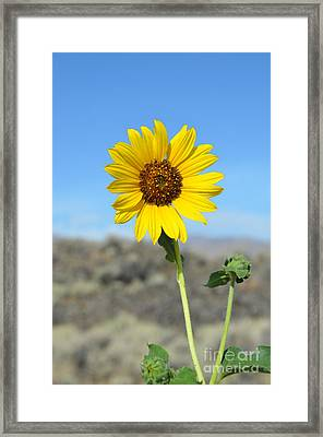 Sunflower By Craters Of The Moon Framed Print by Debra Thompson