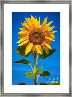 Sunflower Framed Print by Carsten Reisinger