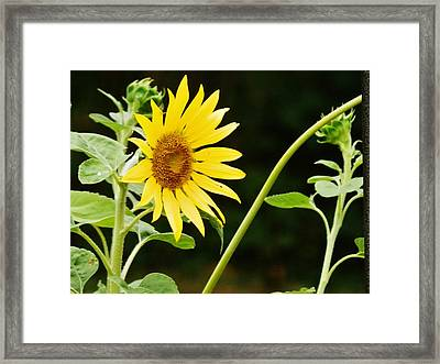 Sunflower Cheer Framed Print by VLee Watson