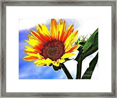 Sunflower   Framed Print by Chris Berry