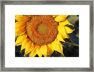 Sunflower - Closeup Framed Print