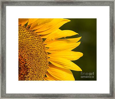 Framed Print featuring the photograph Sunflower Dew by Dale Nelson