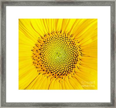 Sunflower  Framed Print by Edward Fielding