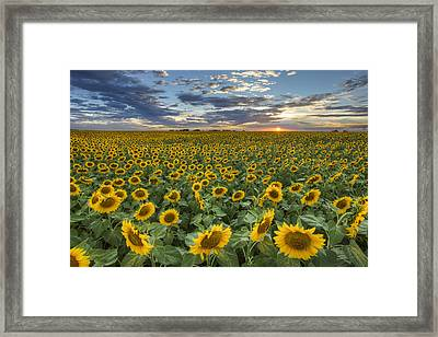 Sunflower Field At Sunset 1 - Texas Wildflower Images Framed Print