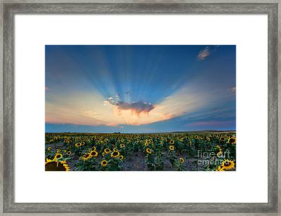 Sunflower Field At Sunset Framed Print