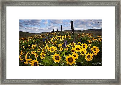 Sunflower Field Framed Print by Cole Black