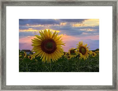 Sunflower Field Framed Print by Debra and Dave Vanderlaan