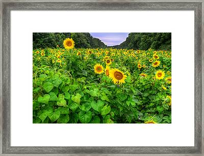 Framed Print featuring the photograph Sunflower Field In Oil by Michael Donahue