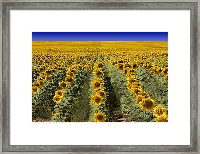 Sunflower Field Framed Print by Juli Scalzi