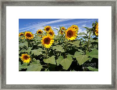 Sunflower Field Framed Print by Kerri Mortenson