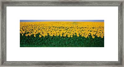Sunflower Field, Maryland, Usa Framed Print