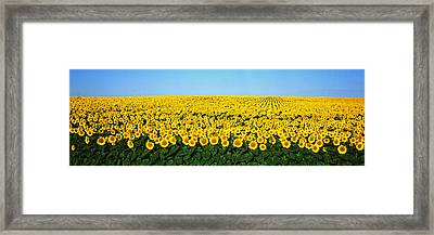 Sunflower Field, North Dakota, Usa Framed Print