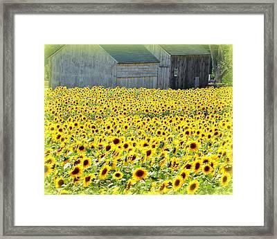Sunflower Field Of Dreams Framed Print