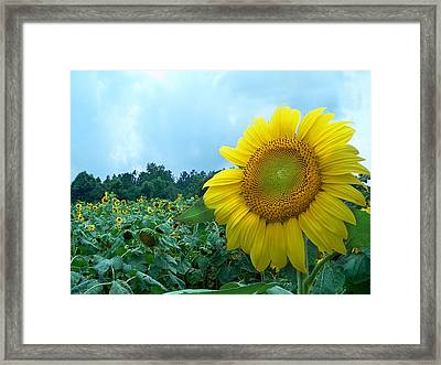 Sunflower Field Of Yellow Sunflowers By Jan Marvin Studios  Framed Print