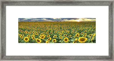 Sunflower Field Panorama - Texas Wildflower Images Framed Print