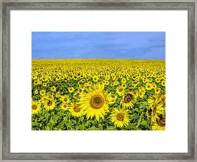 Sunflower Field Framed Print
