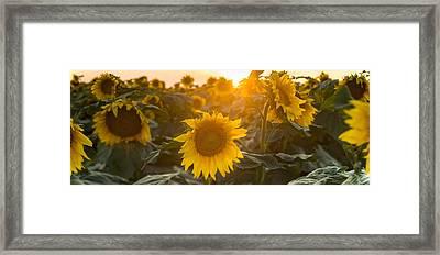 Sunflower Flare Framed Print