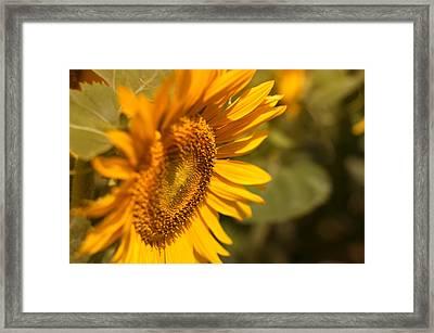 Sun Flower Garden  Framed Print