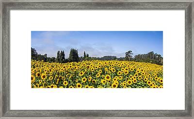 Sunflower Horizon Framed Print