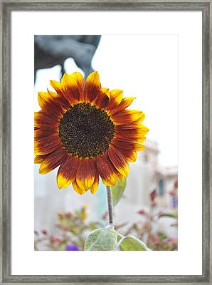 Sunflower In Balboa Park Framed Print by Misty Stach