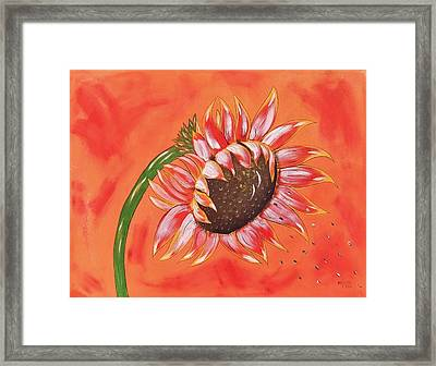 Sunflower In Fall Framed Print by Cindy Micklos